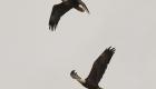 eagle pair 100718 - BM2A3054